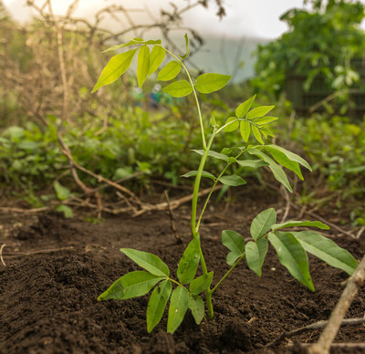 Flor de Caña plants 50,000 trees annually since 2005.